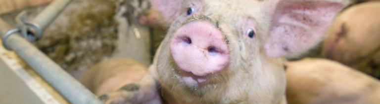Ein Schwein im Schweinestall.