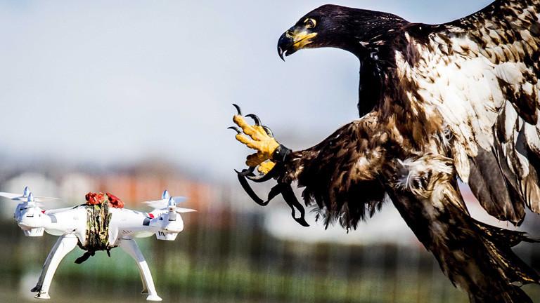 Ein Greifvogel stürzt sich am Himmel auf eine Drohne; Foto: dpa