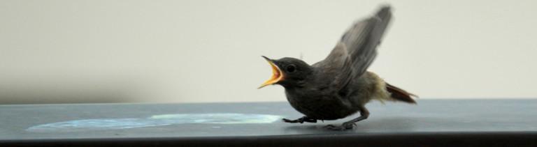 Vogeljunges auf Balkongeländer