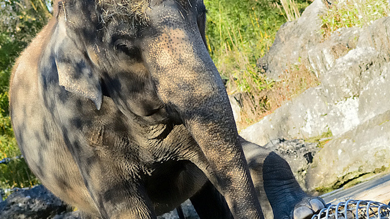 Die Elefantenkuh Steffi im Tierpark Hellabrunn.