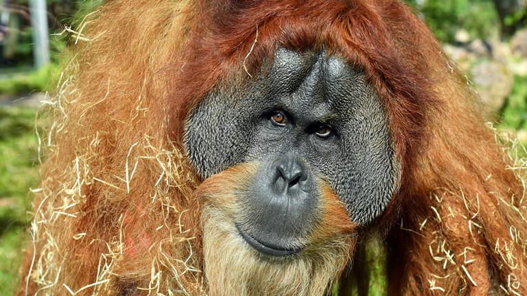 Der Orang-Utan Bruno im Tierpark Hellabrunn.