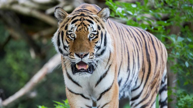 Tiger im Tierpark Hellabrunn.