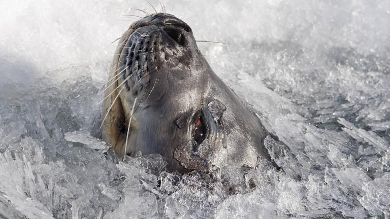Eine Robbe steckt ihre Schnauze durch das Eis.