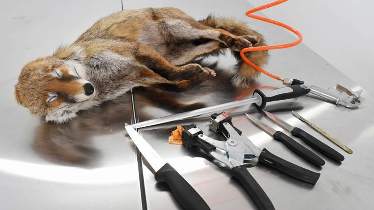 Ein tiefgefrorener Fuchs und Werkzeug liegen zur Bearbeitung des Tieres auf einem Tisch. Dem Fuchs wird das Fell abgezogen; Foto: dpa