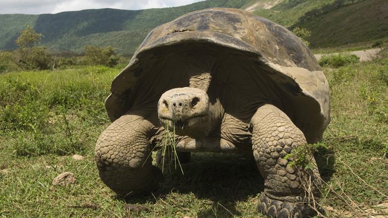 Auf den Galapagos-Inseln bewegt sich eine Riesenschildkröte auf einer Wiese, sie frisst Gras.