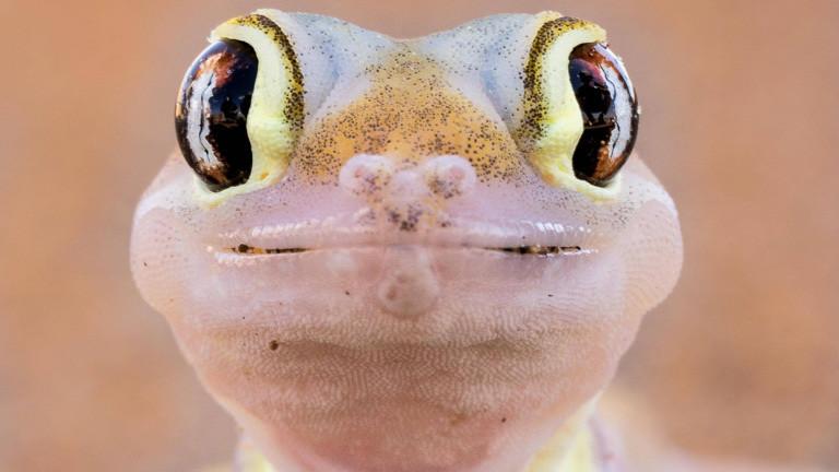 Ein Namibgecko schaut direkt in die Kamera. Es ist leicht rosafarben und hat große braun-schwarze Augen.