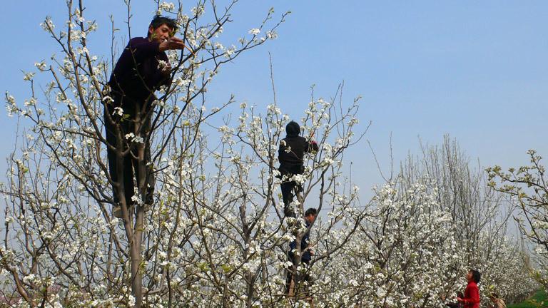 In China bestäuben Menschen Obstbäume per Hand