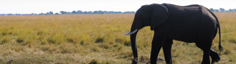 In aller Ruhe passiert ein Elefant zwei Flußpferde, die sich im Sumpfgebiet des Chobe Rivers im gleichnamigen Nationalpark im Schlamm suhlen, aufgenommen am 31.07.2015.