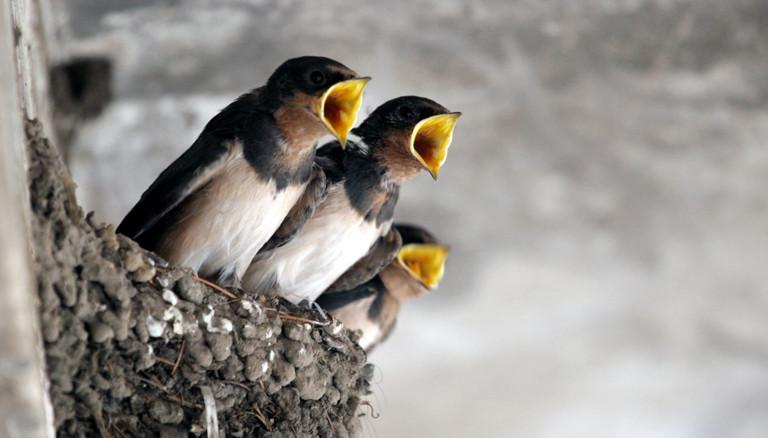 Schwalben Nest