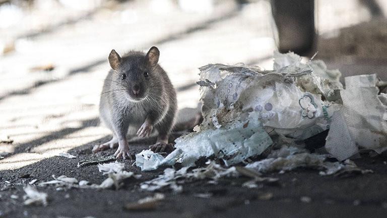 Eine Ratte sitzt neben Müllresten auf dem Boden und blickt direkt in die Kamera, Offenbach (15.04.2019)