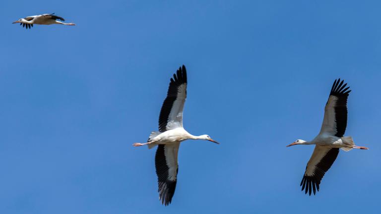 Drei Störche fliegen vor blauem Himmel