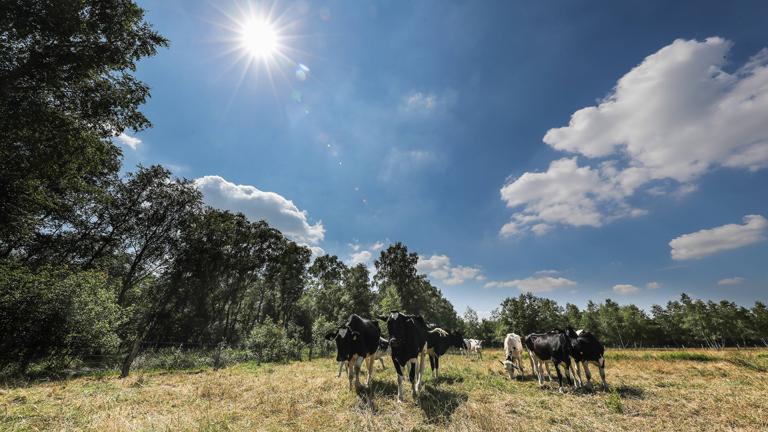 Kühe auf einer Weide mit vertrocknetem Gras