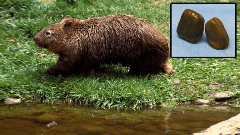 Wombat und Wombat-Ausscheidungen