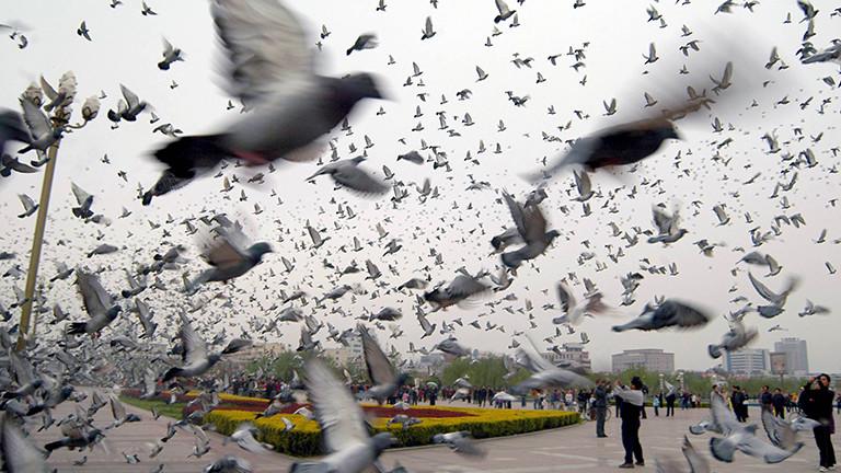 Bei einem Brieftauben-Wettbewerb in der chinesischen Stadt Hebi fliegen viele Tauben über einen Platz.