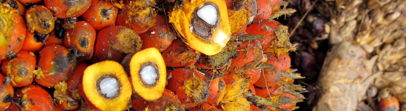 Nahaufnahme einer Palmöl-Pflanze