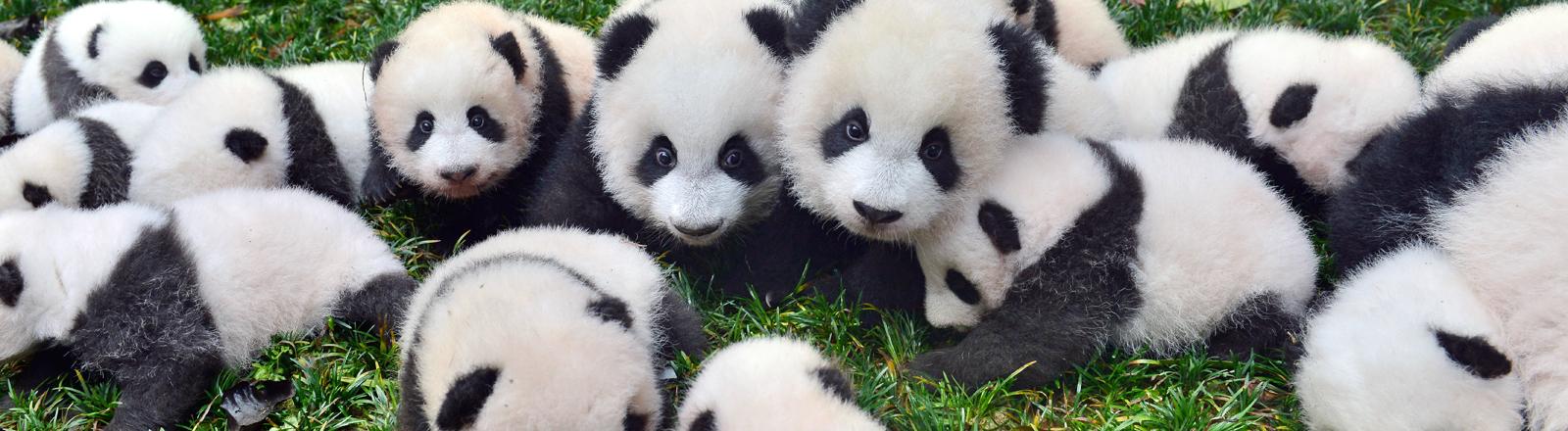 Baby-Pandabären