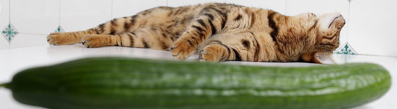 Kätzchen liegt ausgestreckt hinter einer Salatgurke