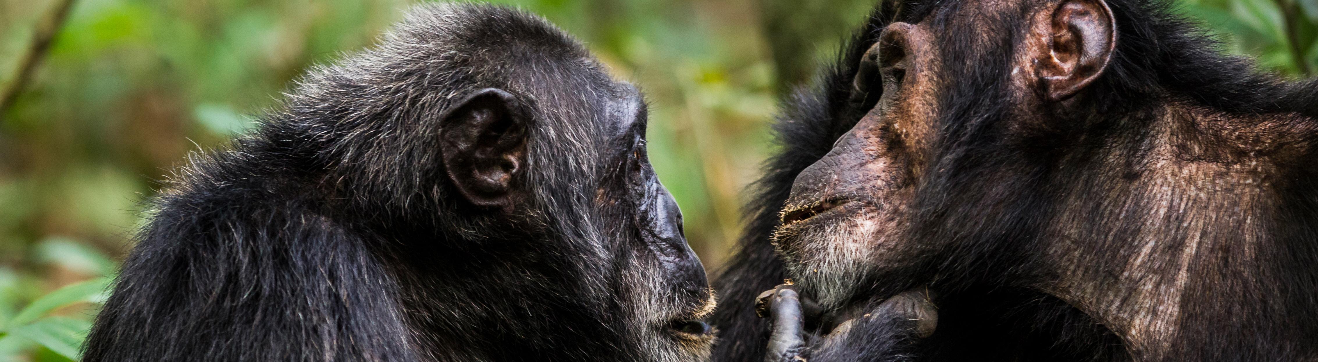 Chimpanzees (Pan troglodytes schweinfurthi) dominant male on left is the leader of the group, grooming one of his lieutenants, Kibale NP, Uganda