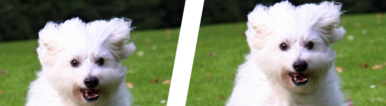 Collage: Ein Hund (doppelt dargestellt) der Rasse Coton de Tuléar