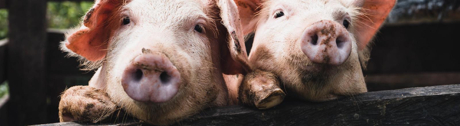 Zwei Schweine, die über einen Zaun schauen.