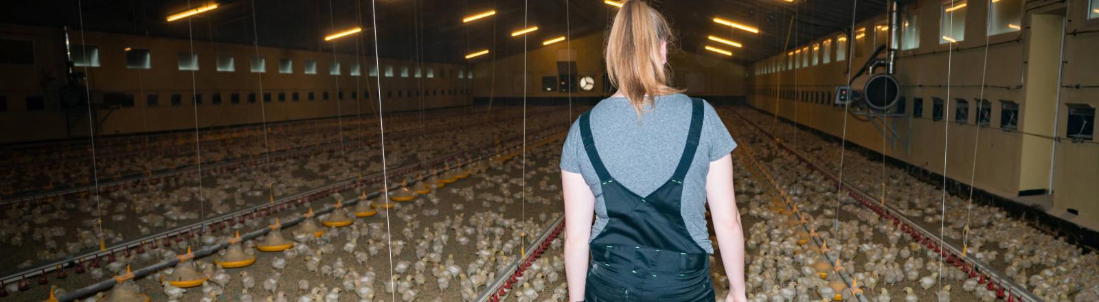 Wenig Licht, kaum Schatten: massenhafte Hühnchenhaltung im Münsterland