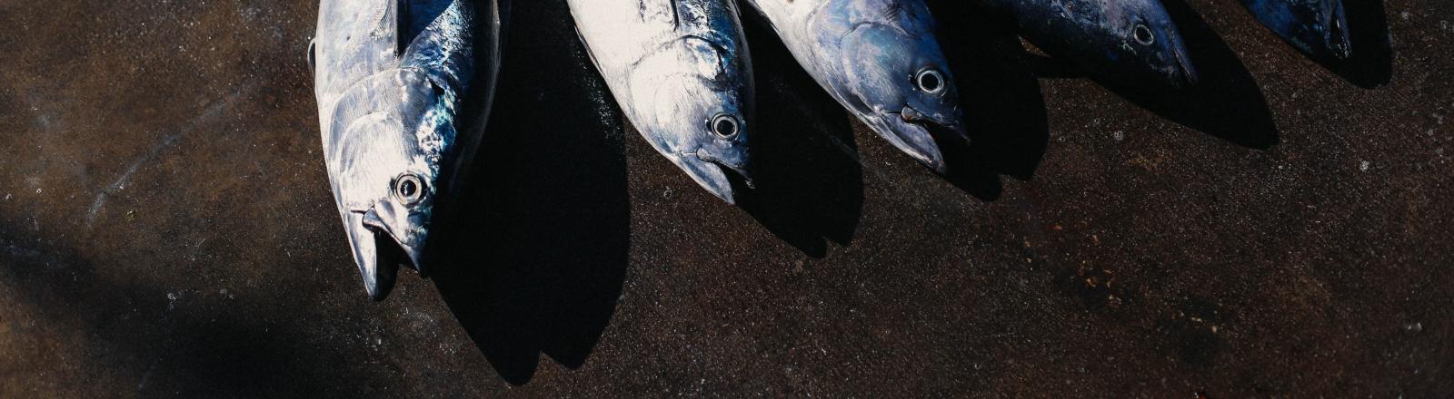 Bereit für die Kühlung: einige Thunfische nach dem Fang und vor dem Verzehr