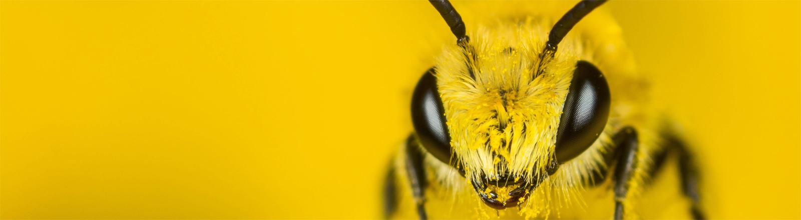 Seidenbienenmännchen bei der Nahrungsaufnahme auf Rainfarn