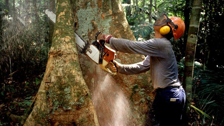 Ein Holzfäller fällt im Regenwald einen Baum.