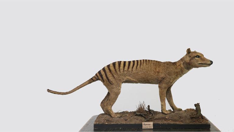 Beutelwolf Thylacinus cynocephalus , ausgestorben , das letzte bekannte Tier starb in der Nacht vom 6. auf den 7. September 1936 im Zoo Hobart , Tasmanien.