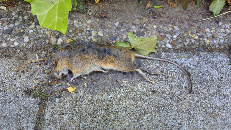Neue Waffe gegen Ratten