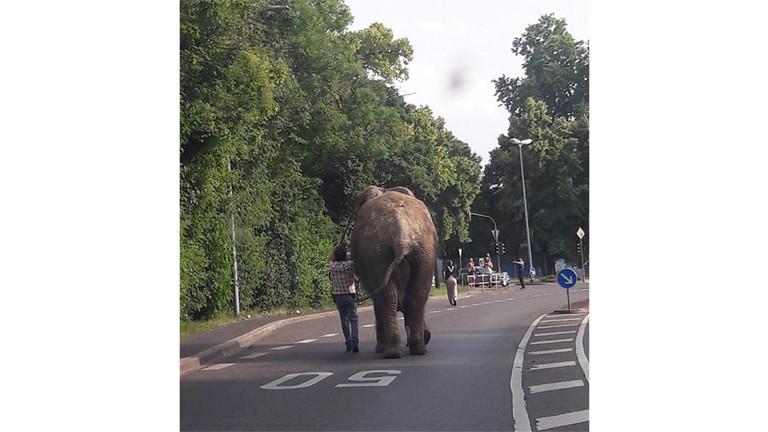 Die Elefantendame Kenia am 6. Juni 2018 auf dem Weg durch Neuwied
