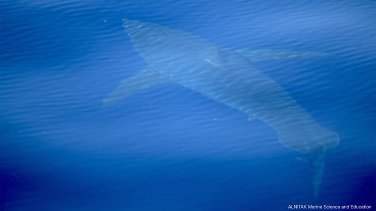 Ein weißer Hai im Meer.