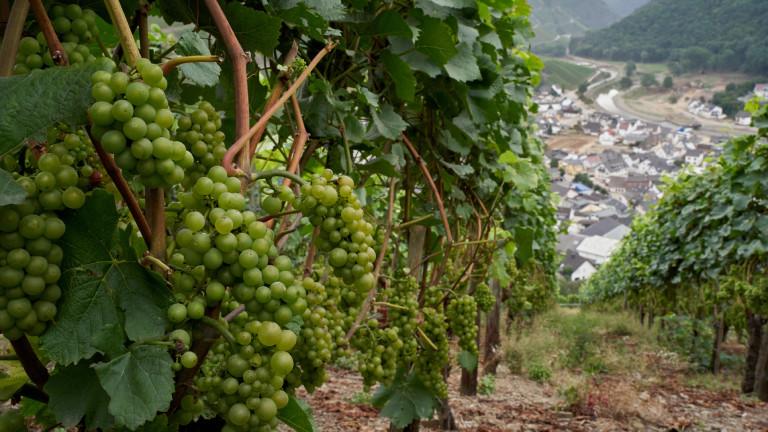 Vor der Weinlese: Weintrauben in den Weinbergen oberhalb von Dernau an der Ahr