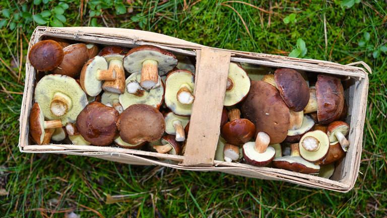 Ein mit Maronen-Röhrlingen gefüllter Pilzkorb