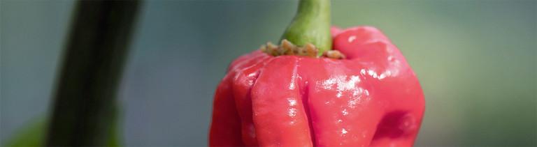 Eine sehr scharfe Frucht: Chili der Sorte Carolina Reaper