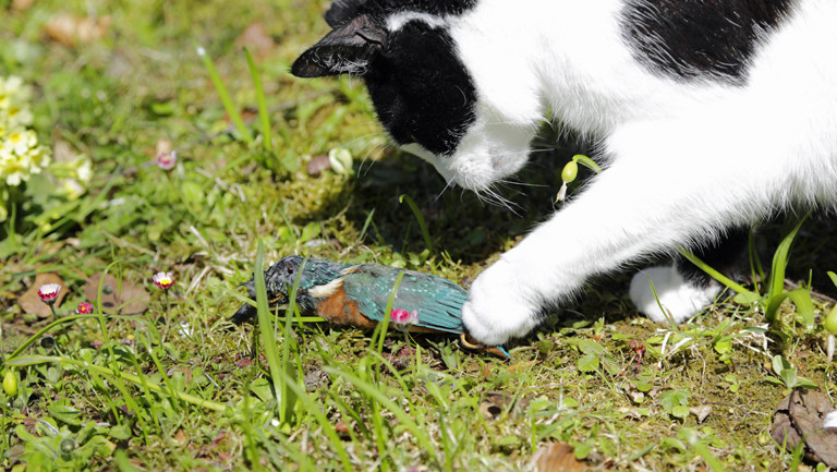 Katze mit totem Eisvogel