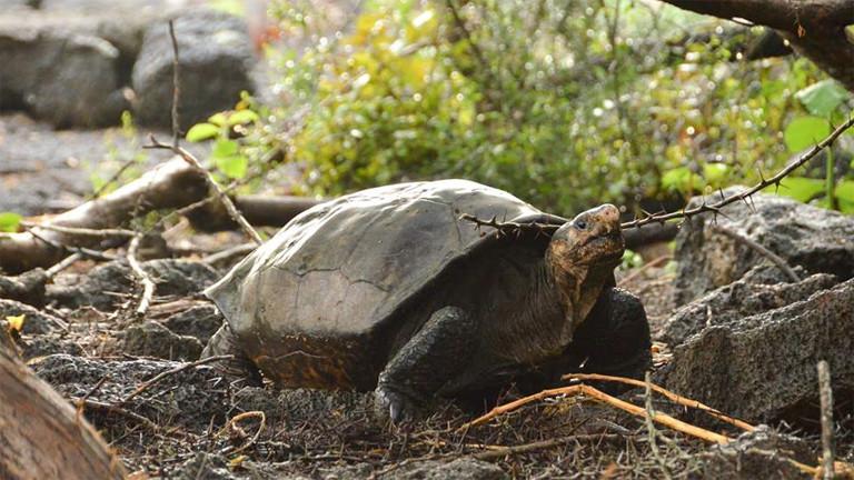 Sie lebt noch: Diese Schildkröte der Art Chelonoidis Phantasticus wurde auf den Galapagosinseln gesichtet.