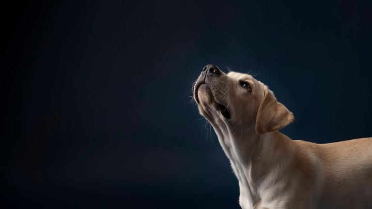 junger Labrador, der in die Luft schnüffelt