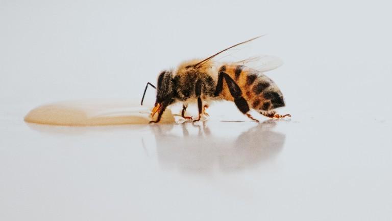 Eine Biene, die an einem Honig-Klecks leckt