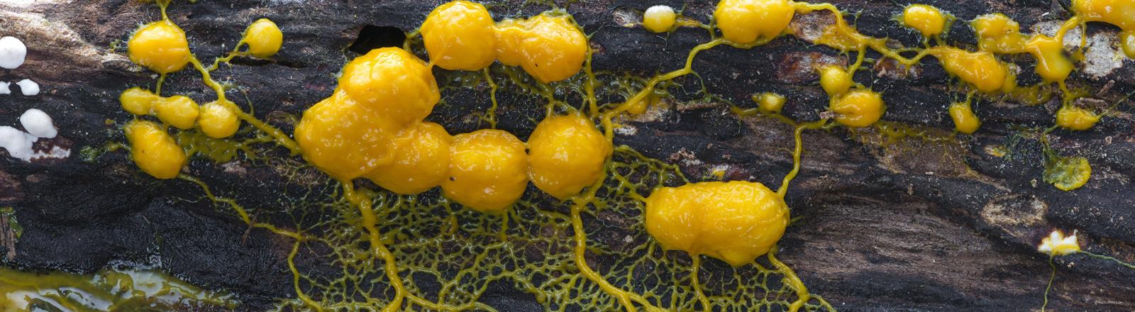 Ein gelbes, pilzartiges Geflecht