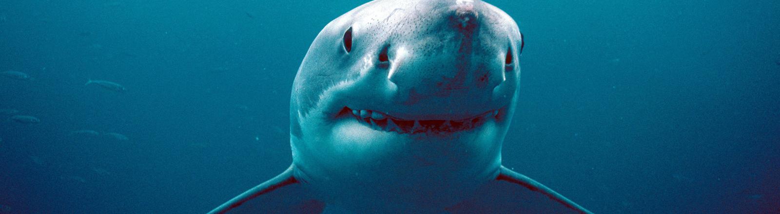 Weißer Hai im Meer.