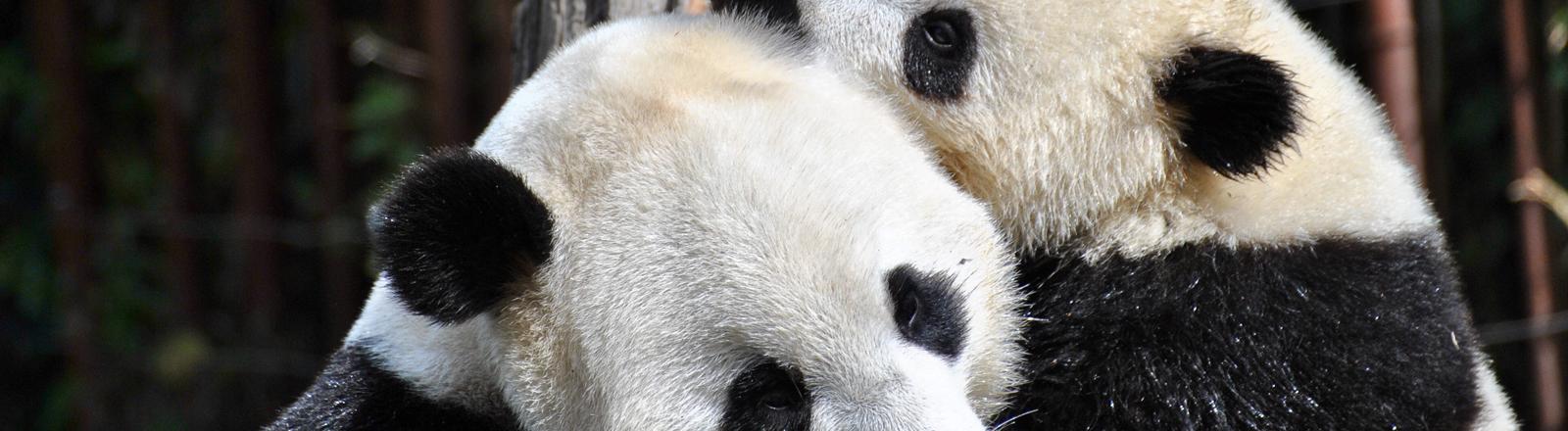 Zwei Pandas umarmen sich