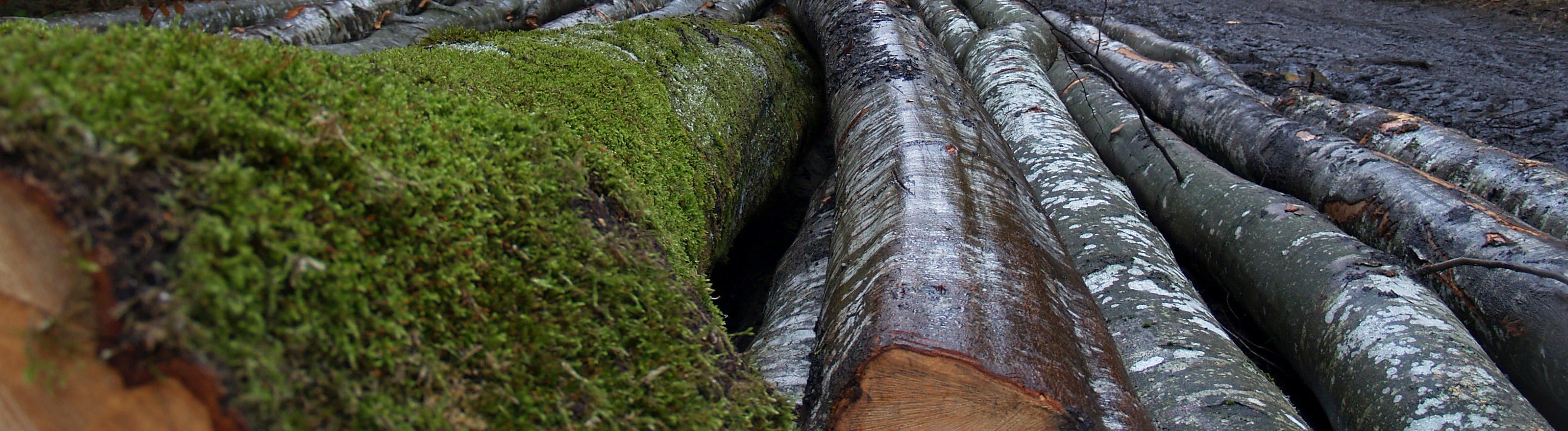 Logged trees in the Gurghiu Mountains, Eastern Carpathians, Romania.