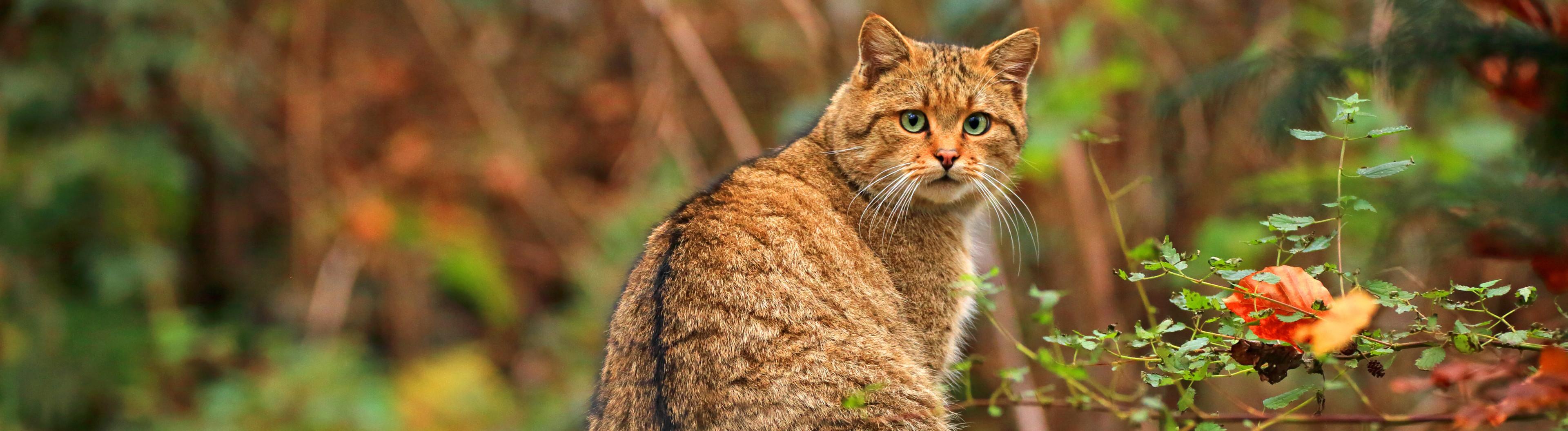 Wildkatze in der Eifel