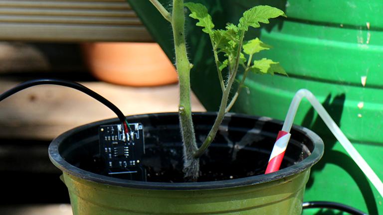 Tomatenpflanze mit Feuchtigkeitssensor und Gießautomatik