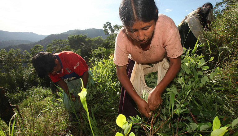 Bauern bei der Koka-Ernte in Bolivien.