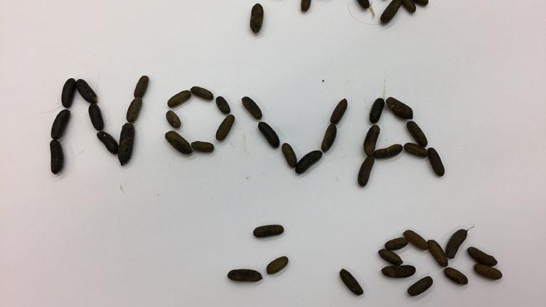 """Das Wort """"Nova"""" geschrieben mit Mereschweinchen-Kötteln."""