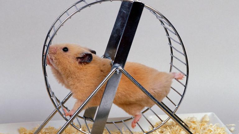 Hamster läuft in einem Hamsterrad