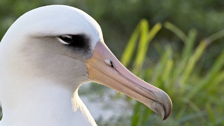 Albatros-Dame Wisdom (Foto von 2014)
