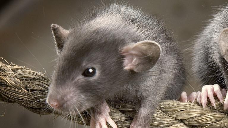 Mäusesprache